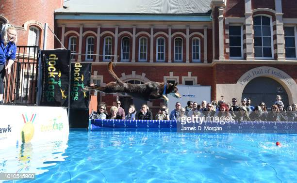 A dog leaps into a swimming pool during the 2018 Sydney Dog Lovers Show on August 4 2018 in Sydney Australia The show is hosting the first ever...