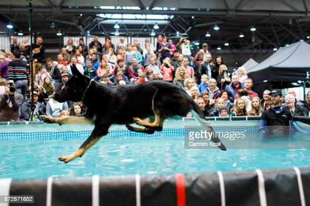 A dog leaps into the air before landing in a swimming pool during a dog diving event at the World Dog Show 2017 on November 11 2017 in Leipzig...