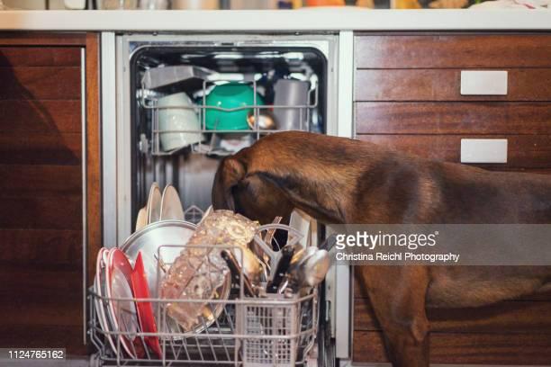 dog licking the plates in the dish washer - christina plate foto e immagini stock
