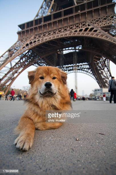 dog lies in front of the Eiffel tower