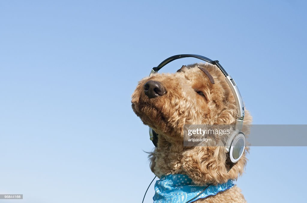 A dog listening to music with headphone : Stock Photo