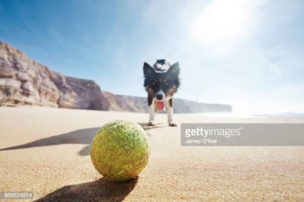 Dog looking at ball on sunny beach from low angle.