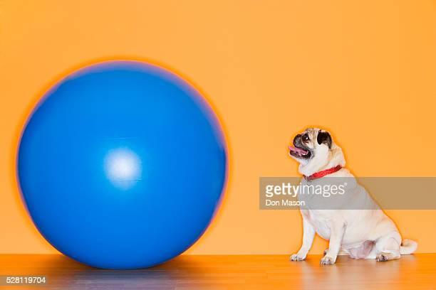 Dog Looking at Big Blue Ball