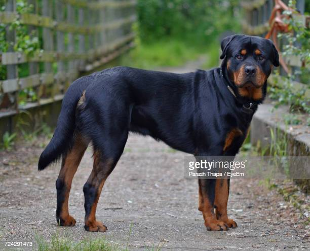 dog looking at camera - rottweiler stock photos and pictures