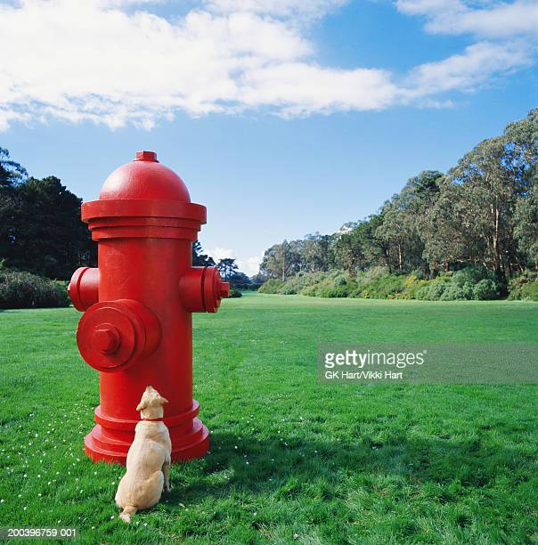 Dog looking at large red fire hydrant in park, rear view