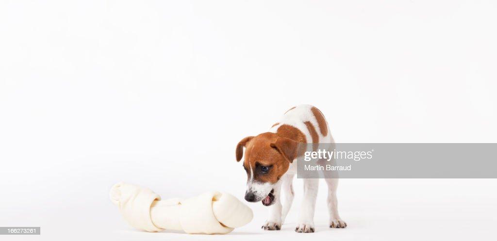 Perro mirando a amplia ósea : Foto de stock