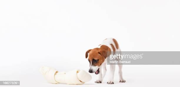 Perro mirando a amplia ósea