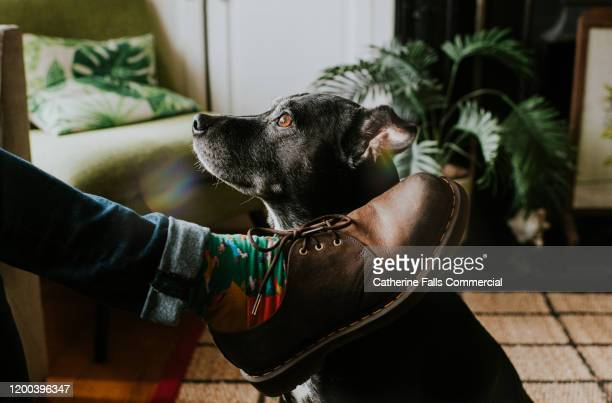 dog looking at owner - brown shoe stock pictures, royalty-free photos & images