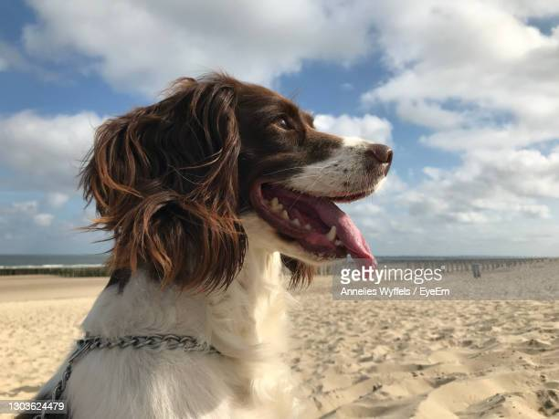 dog looking away on beach - springer spaniel stock pictures, royalty-free photos & images