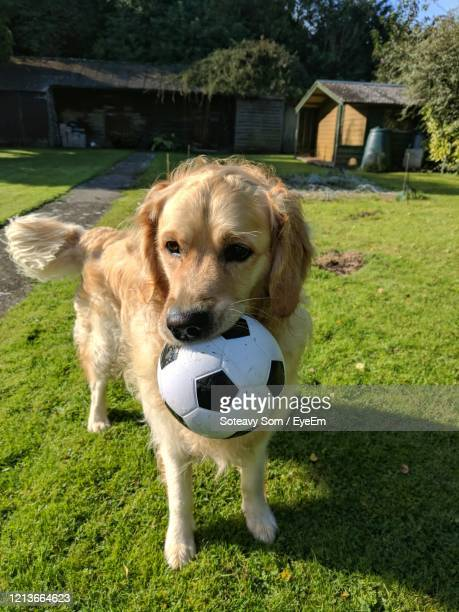 dog looking away on field - football photoshoot stock pictures, royalty-free photos & images