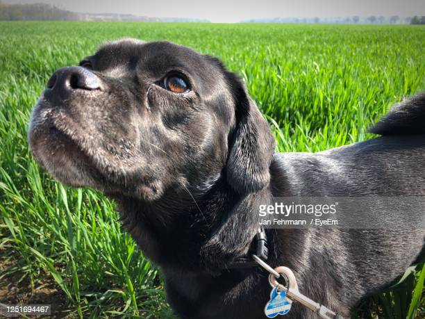 dog looking away on field - puggle stock pictures, royalty-free photos & images