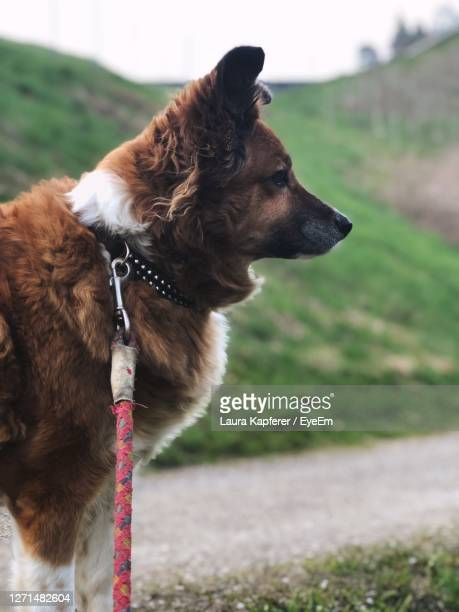 dog looking away on field - pet lead stock pictures, royalty-free photos & images
