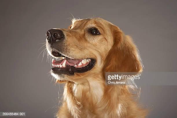 dog looking away - golden retriever photos et images de collection