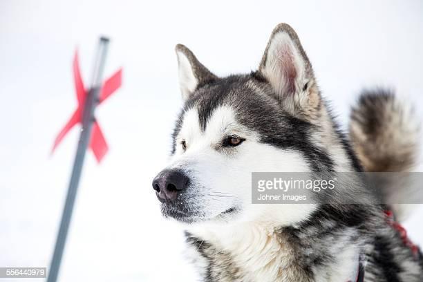 dog looking away - マラミュート犬 ストックフォトと画像