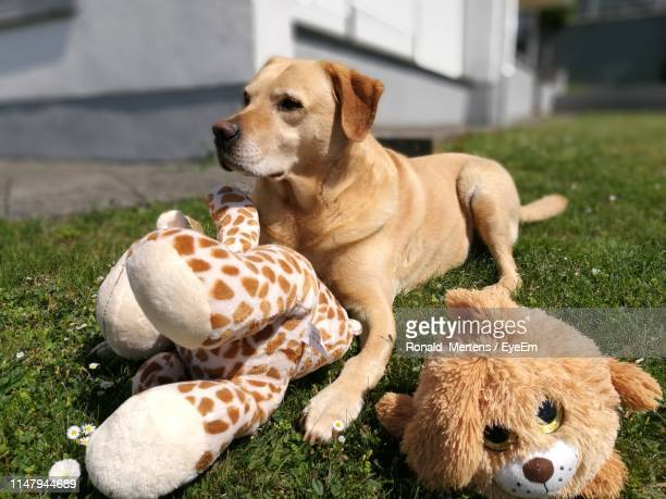 dog looking away sitting with stuffed toys in yard - mertens stock pictures, royalty-free photos & images