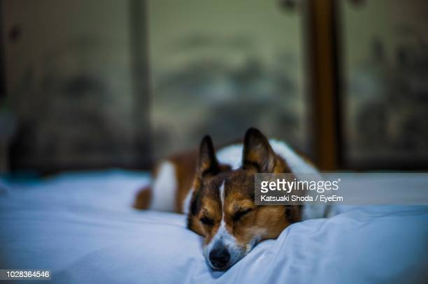 dog looking away while resting on bed at home - mutsu imagens e fotografias de stock