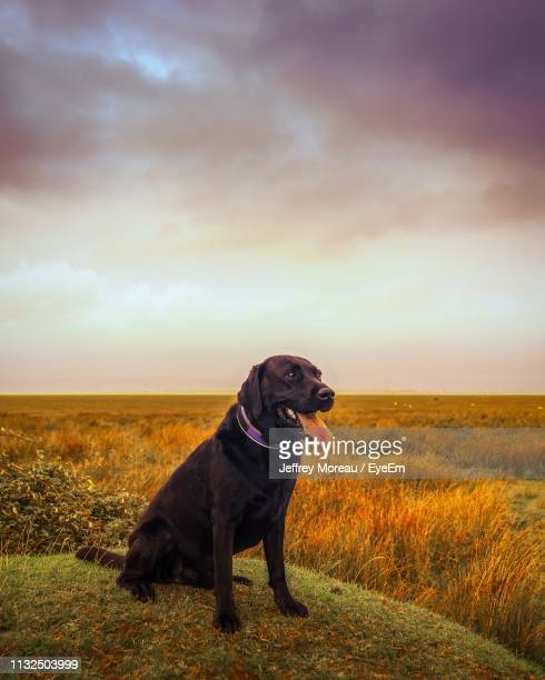 dog looking away while sitting on hill against cloudy sky during sunset - labrador preto imagens e fotografias de stock