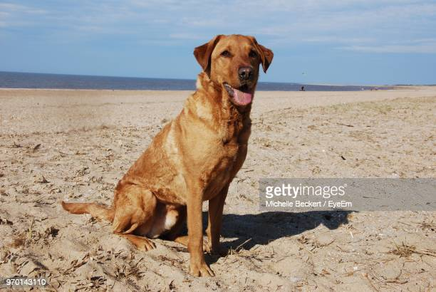 Dog Looking Away While Sitting On Sand At Beach Against Sky