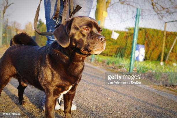 dog looking away while standing on road - puggle stock pictures, royalty-free photos & images