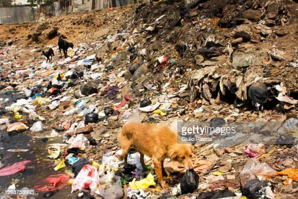 a dog looking for food inside dharavi slum, mumbai, india - スラム街 ストックフォトと画像