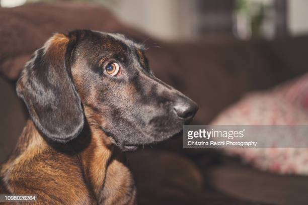 dog looking guilty - censura imagens e fotografias de stock