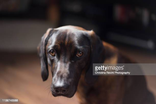 dog looking guilty - caught in the act stock pictures, royalty-free photos & images