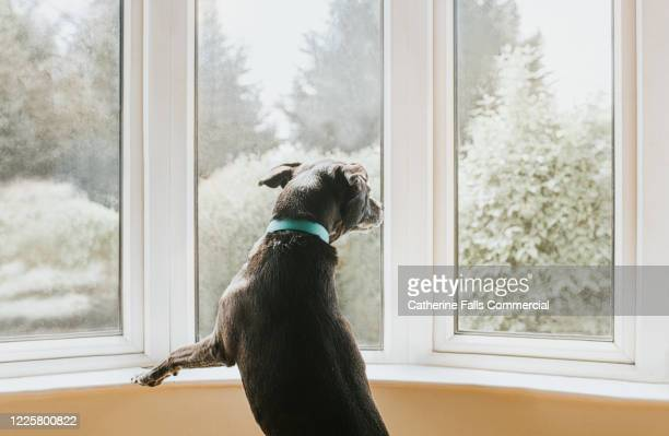 dog looking out a window - window stock pictures, royalty-free photos & images