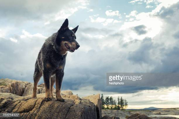 dog looking out from rock on coast of maine, usa - americas next top dog stock pictures, royalty-free photos & images