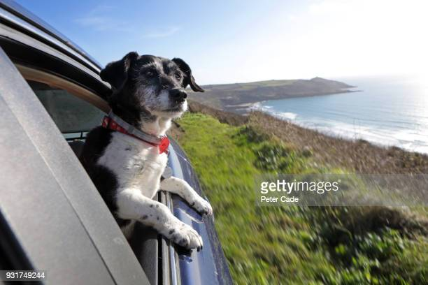 dog looking out of car window at coastline - pets stock pictures, royalty-free photos & images