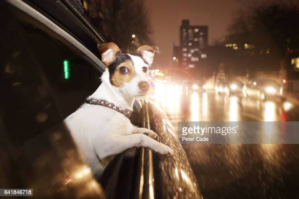 Dog looking out of car window at night, on urban road