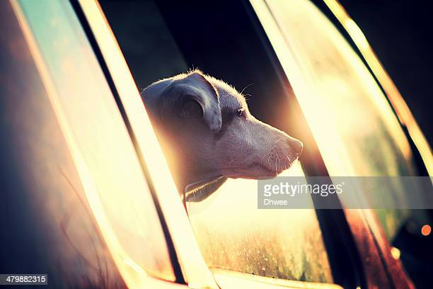 a dog looking out of car window - jack russell terrier photos et images de collection