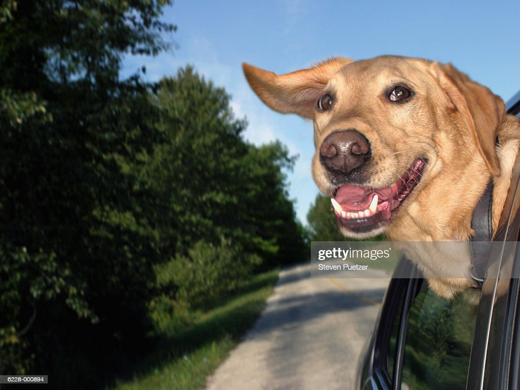 Dog Looking Out of Car Window : Stock Photo