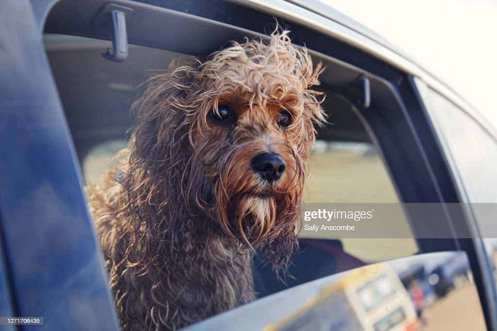 Dog looking out of the car window : Stockfoto