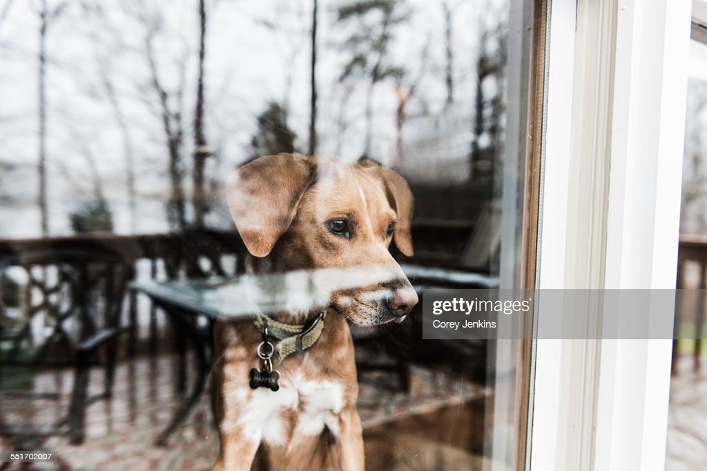 Dog looking out of window : Stock Photo