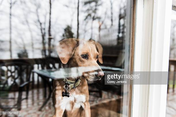 dog looking out of window - waiting stock pictures, royalty-free photos & images