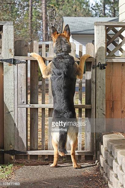 Dog Looking Out Over Fence