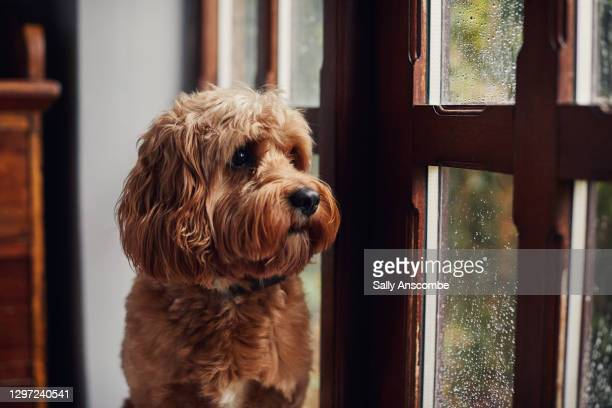 dog looking out the window - window stock pictures, royalty-free photos & images