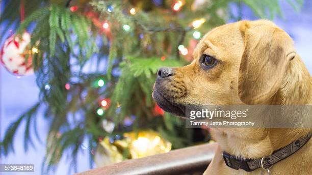 dog looking out window at christmas - puggle stockfoto's en -beelden