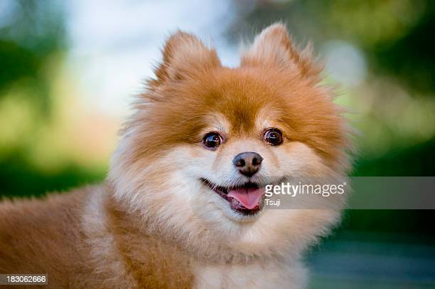 dog looking - pomeranian stock photos and pictures