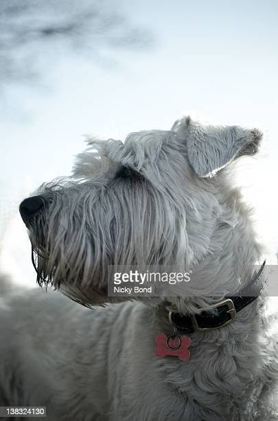 dog looking sideways - soft coated wheaten terrier stock photos and pictures