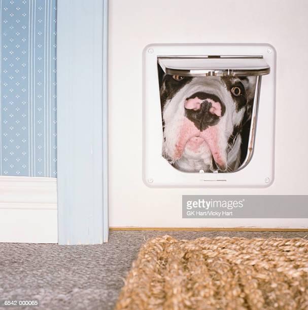 Dog Looking Through Cat Flap