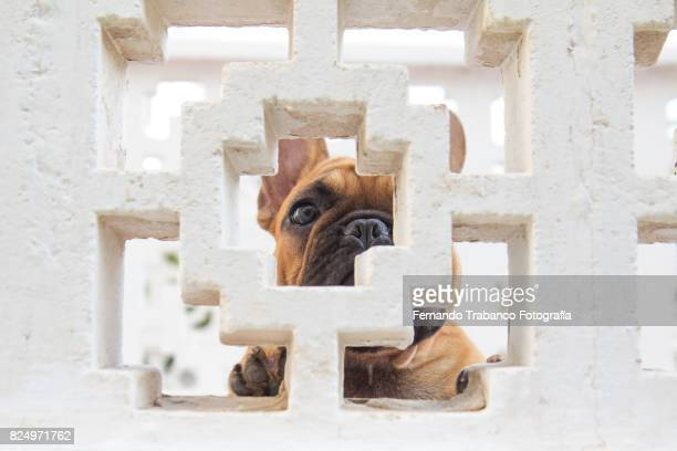 Dog looking through hole behind a wall