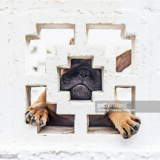 Dog looking through hole behind a wall (squared format)