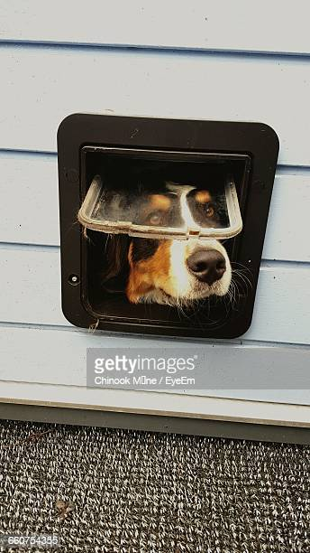 dog looking through window - chinook dog stock photos and pictures