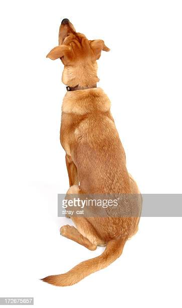Dog looking up, rear view