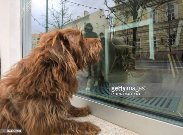 """Dog looks at cats through the window of the """"Cat Cafe"""" which remains closed in Vilnius, Lithuania on April 19 amid the new coronavirus COVID-19..."""