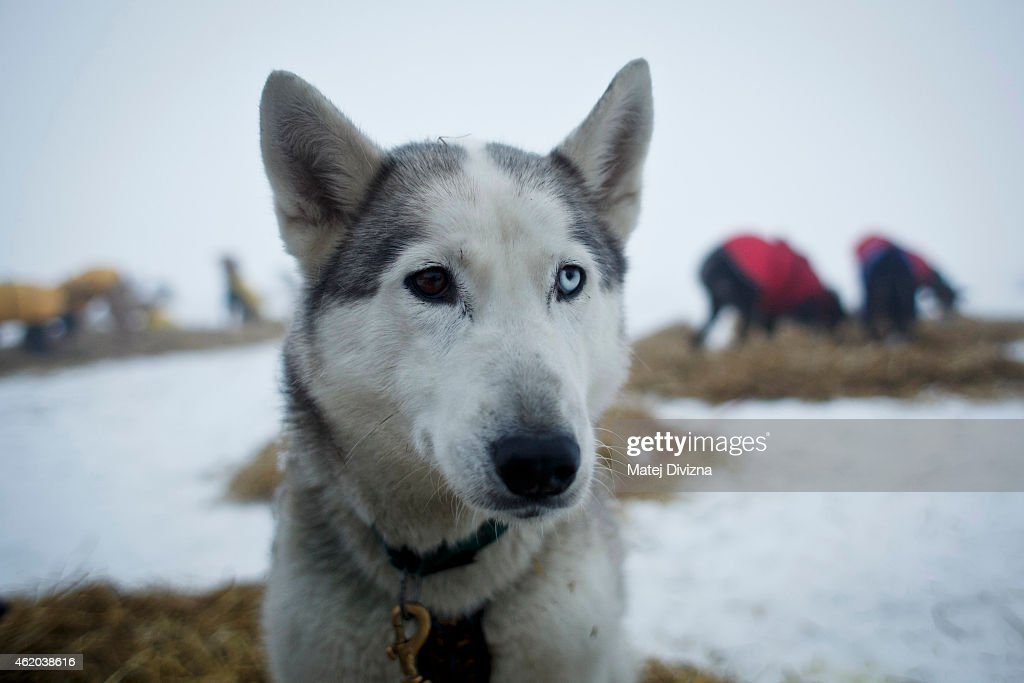 A dog looks on after stage during The Sedivackuv Long 2015 dog sled race in the Orlicke mountains on January 23, 2015, near the village of Destne v Orlickych horach near the Czech-Polish border. The four-day Sedivackuv Long, is with 88 mushers and 500 dogs this year. The dog sled race is the longest in the Czech Republic and one of the hardest races of its kind in Europe.