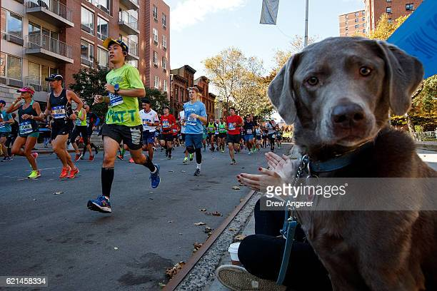 A dog looks on as runners make their way east on Lafayette Avenue during the 2016 TCS New York City Marathon November 6 2016 in the Clinton Hill...