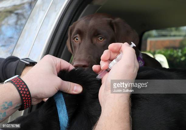 A dog looks on as veternarian technician Justin Jones gives a canine influenza immunization at Los Gatos Dog and Cat Hospital on January 25 2018 in...