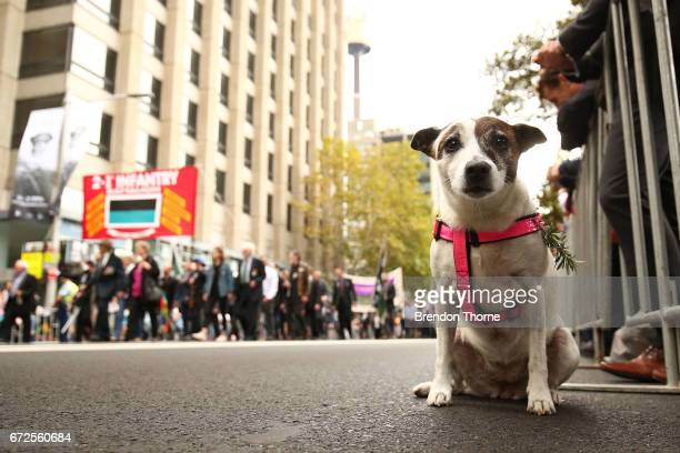 A dog looks on as war veterans make their way down Elizabeth Street during the ANZAC Day parade on April 25 2017 in Sydney Australia Australians...